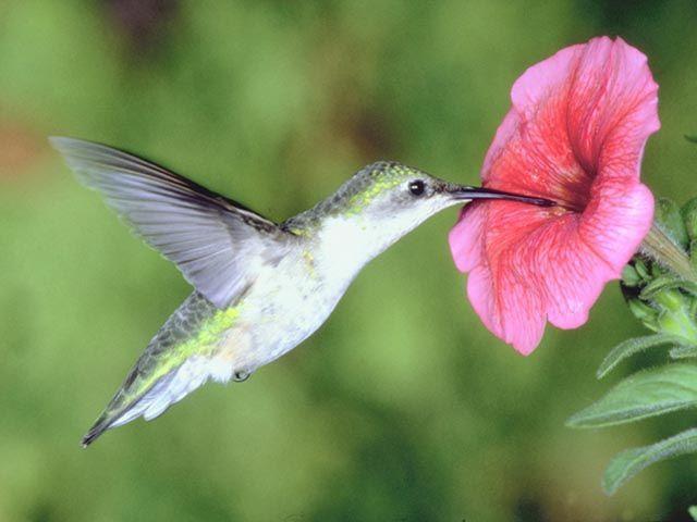 Colibrí, el nuevo animalito de Google Colibri